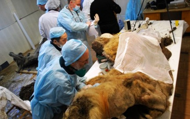 mamut-yuka-encontrado-congelado-siberia18-4