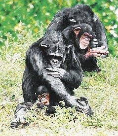 Monos, chimpancés.