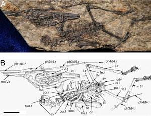 Fósil del pterosaurio. (Foto: PNAS)