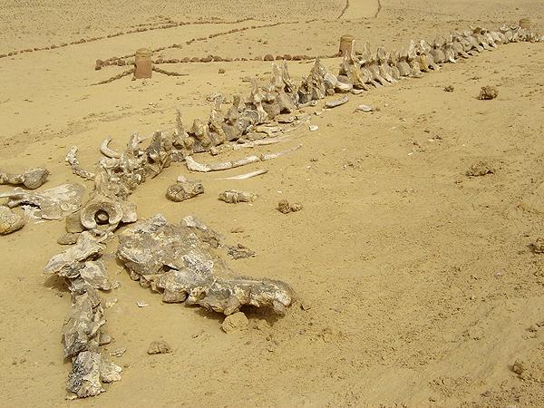 Imagen del esqueleto fosilizado de una ballena en Wadi al Hitan. (Foto: EFE)