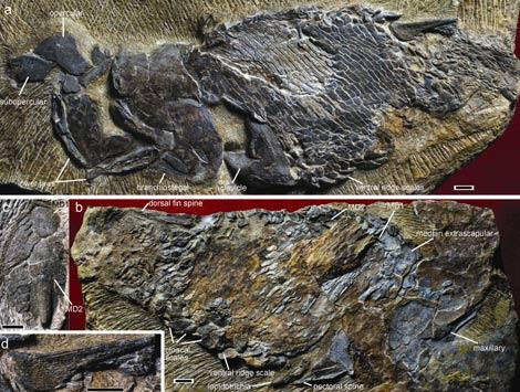 Fósil excepcionalmente preservado de un pez de hace 419 millones de años, | 'Nature'