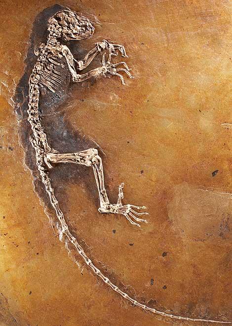 Hallan un ancestro de los primates de 47 millones de años de antigüedad.