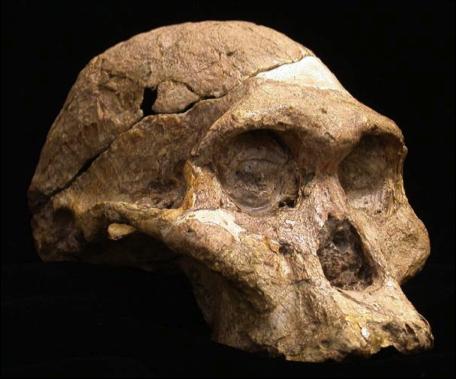 """Fósil de una hembra de Australopithecus robustus"""" apodada Señora Ples descubierto en la cueva de Sterkfntein, en Sudáfrica. / DARRYL DE RUITER"""