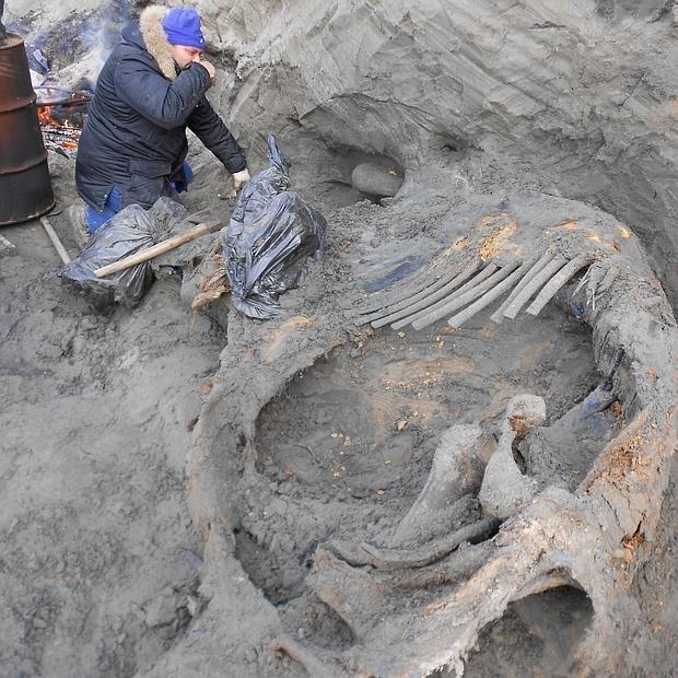 Investigadores excavan el cadáver congelado del mamut - Pitulko et al., Science