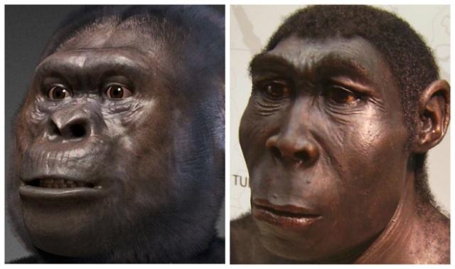 Recreación de un 'Australopitecus', a la izquierda, y de un 'Homo erectus', a la derecha. EM